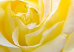 yellow_rose_2